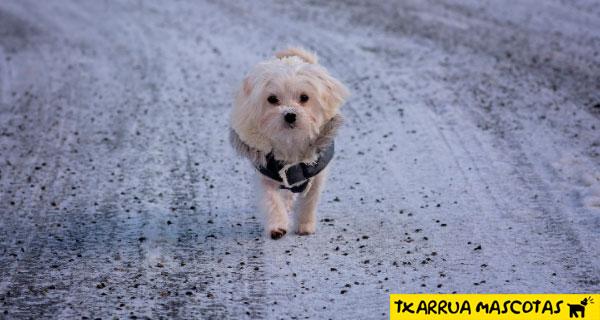 Si el perro es pequeno un pequeno abrigo puede ser util para protegerlo de la helada