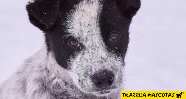 el invierno resfria perros