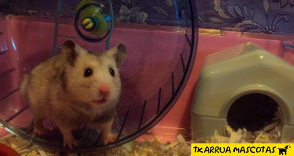 hamster en cautiverio